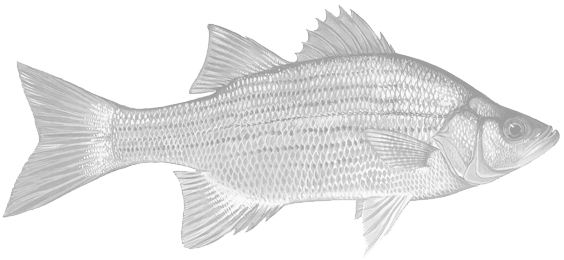 hybrid-striped-bass-img